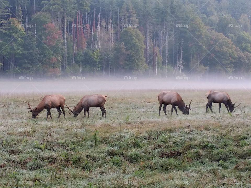 Cataloochee Valley Elk. Elk graze this misty morning in the Cataloochee Valley North Carolina.