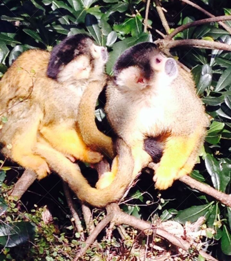 Two cheeky spider monkeys looking up to the top right in a tree close up