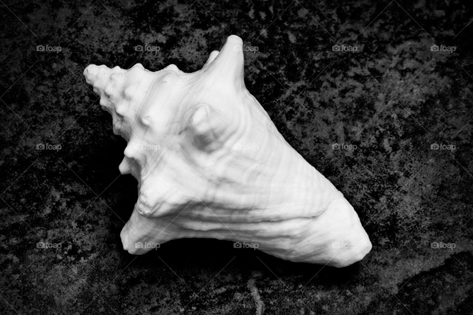 """This is a black and white photograph of a conch shell. The shell itself is about 9"""" long from tip to tip. I kept the lighting simple and soft and the composition simple as well because I wanted this photo to just be about the natural beauty of the shell."""