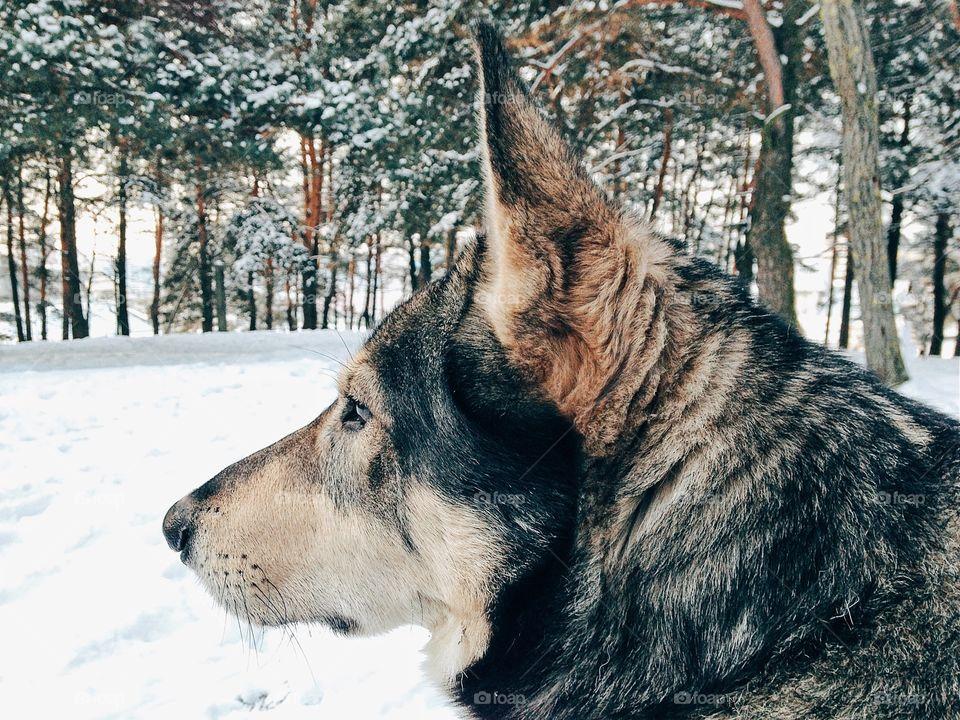 Husky dog on snow
