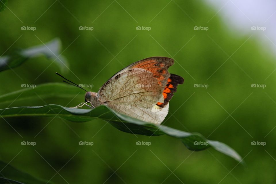An interesting life specimen macro butterfly on long green leaf, beiges and oranges