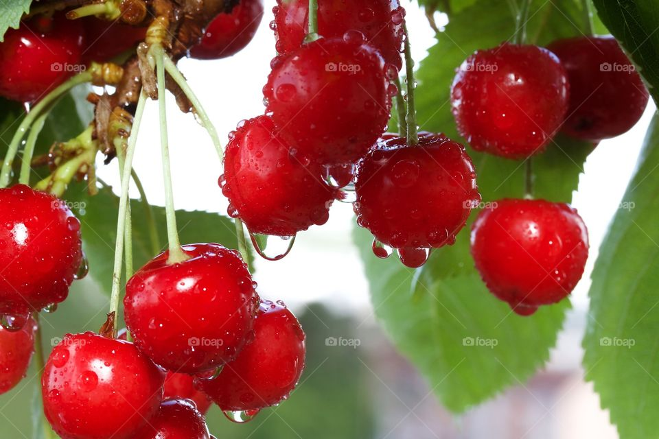 Red cherries in rain