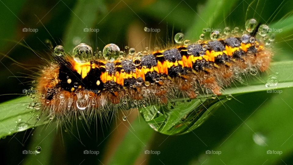 A colorful hairy caterpillar covered with drops of dew, sitting on the blade of grass.