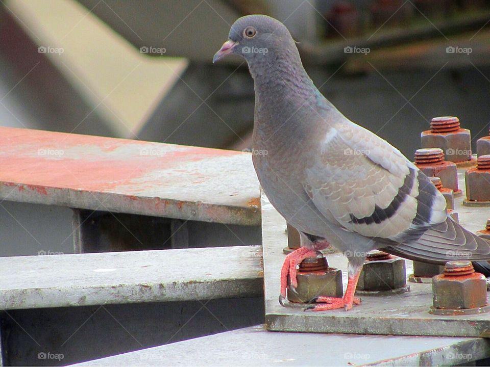 Sexy pigeon