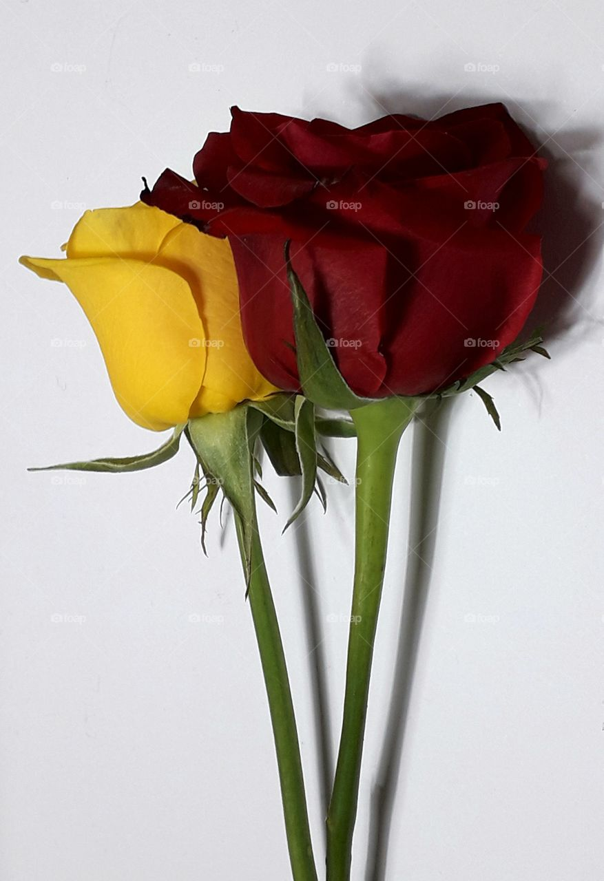 Yellow and red roses on white background with clipping path