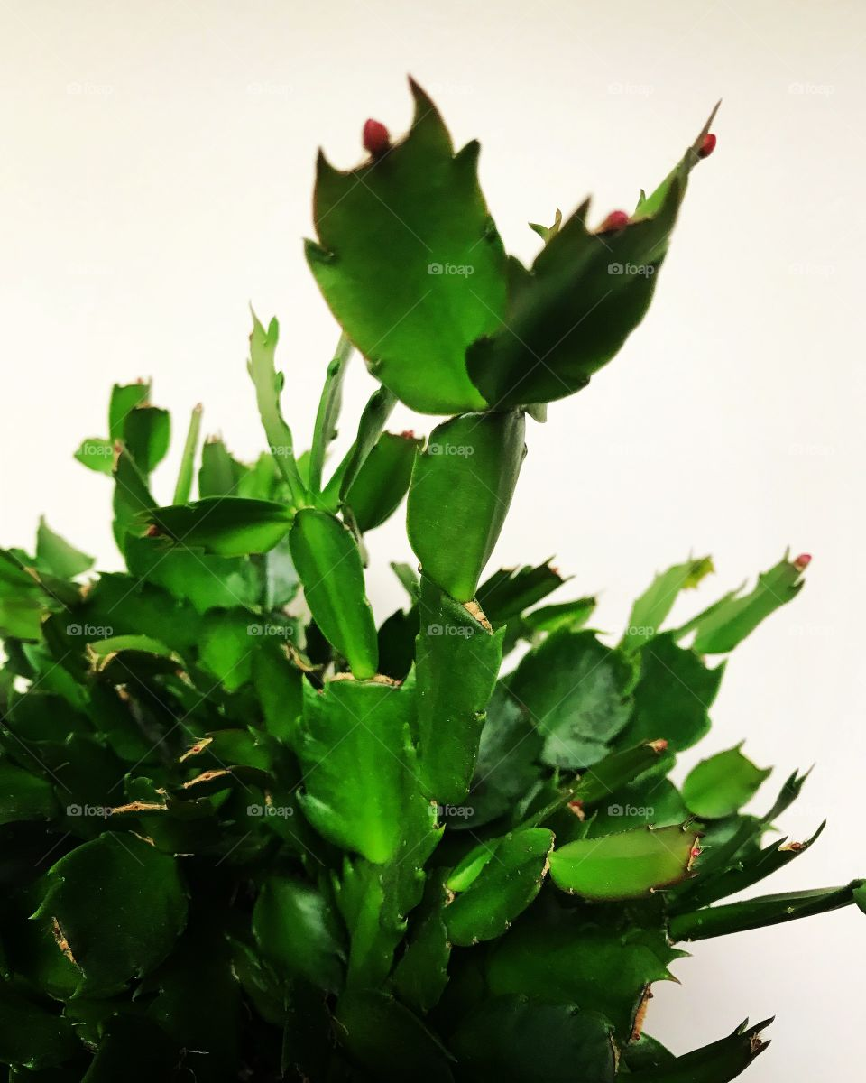 Christmas cactus about to bloom.