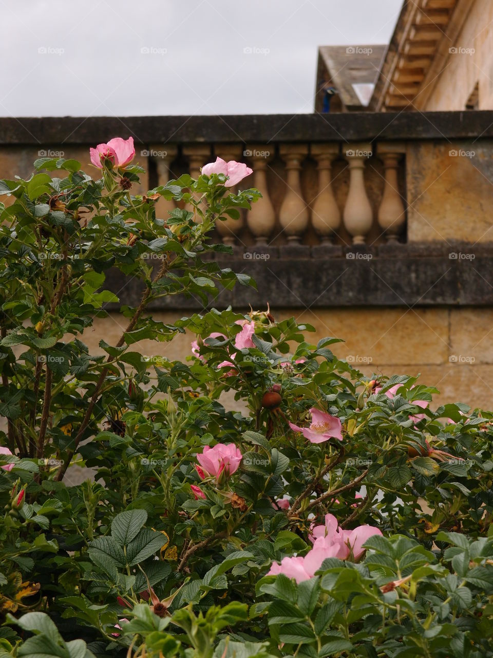 A pretty rose bush with beautiful pink rose blooms against in the gardens against an old stone wall on a summer day.