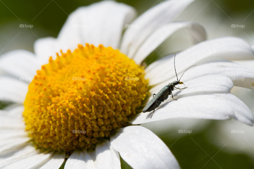 Insect on white flower
