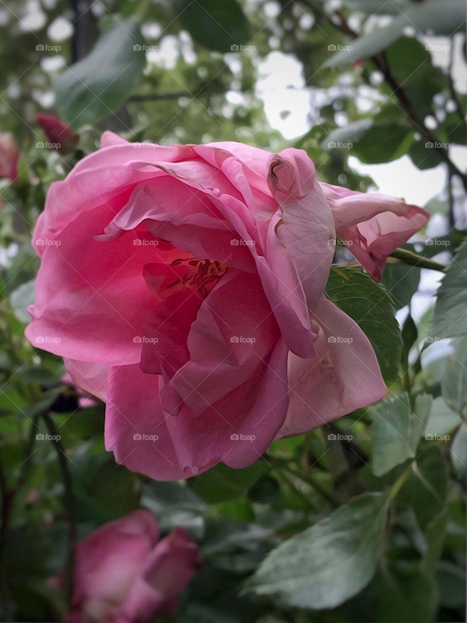 Pink Rose-Dewitt Clinton Park, Manhattan, New York City. Instagram,@PennyPeronto
