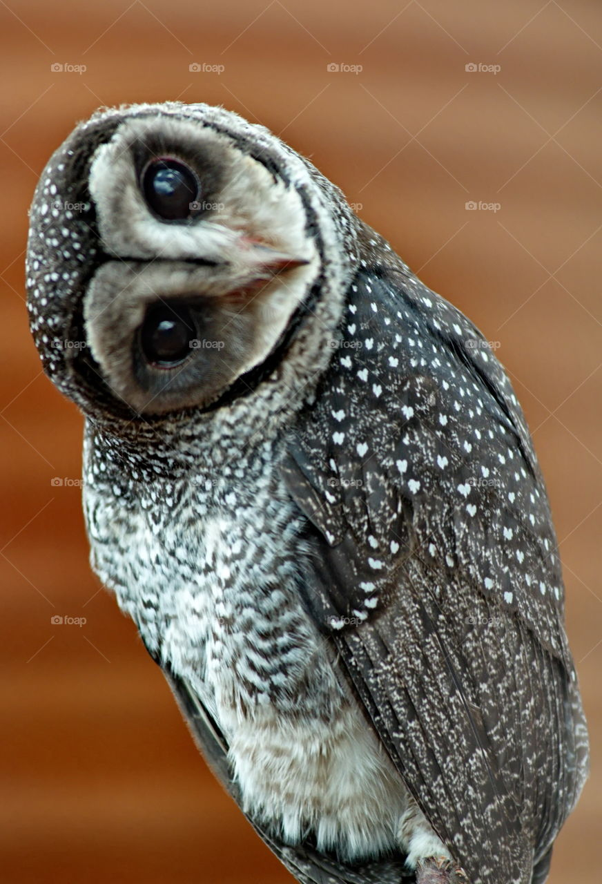 Sooty Owl looking at the camera