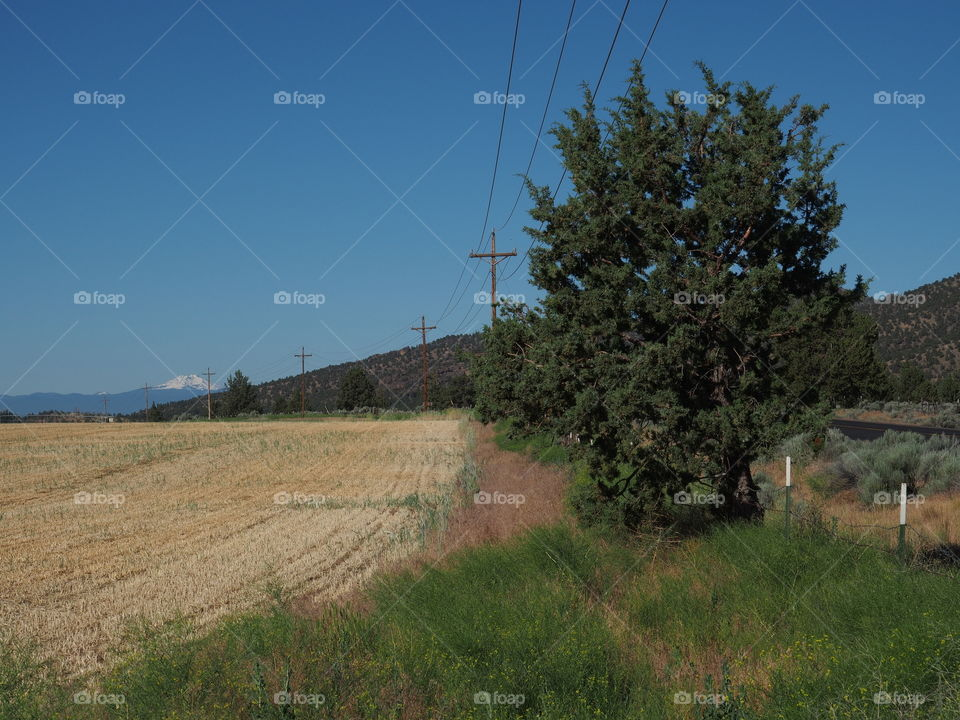 Telephone poles curve around a large juniper tree and a hay field in rural Central Oregon on a sunny summer day.