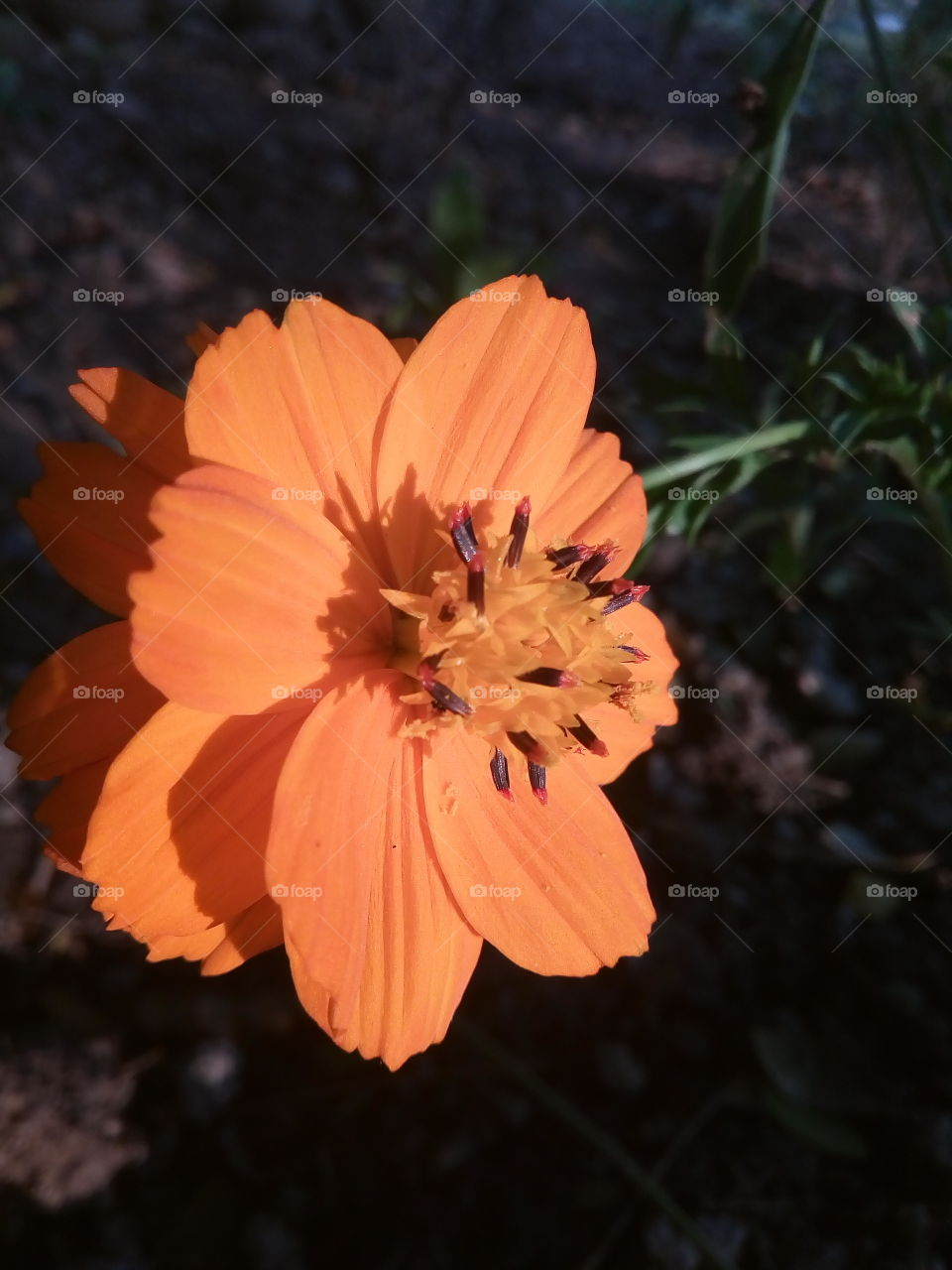 flower 2018-01-17 016  #আমার_চোখে #আমার_গ্রাম #nature #flower  #eukaryota #plantae #angiosperms #eudicots