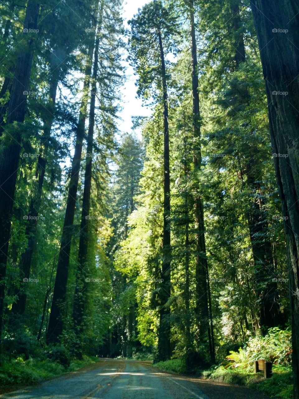Humbolt Redwoods. August 2015